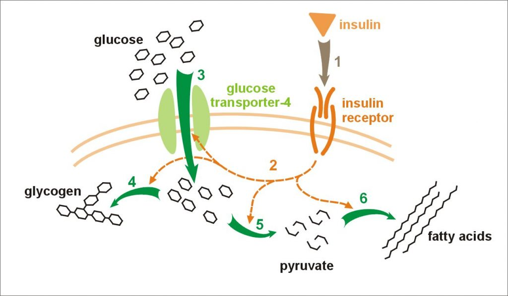 Fig 1 - Insulin acts to increase glucose uptake from the circulation. There is increasing insulin resistance in pregnancy, and insulin requirements rise by approximately 30%