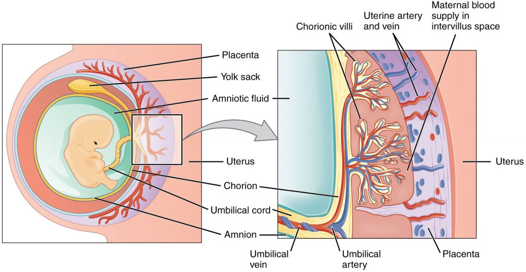 Fig 1 - The layers of the fetal membranes; the chorion and amnion.