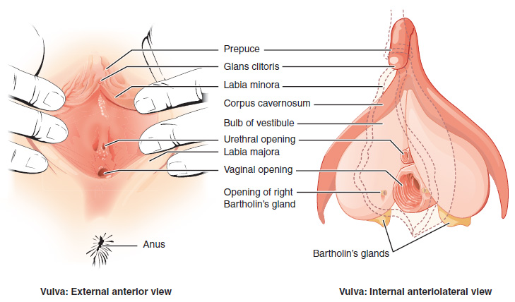 Fig 1 - The anatomical position of the Bartholin's glands.