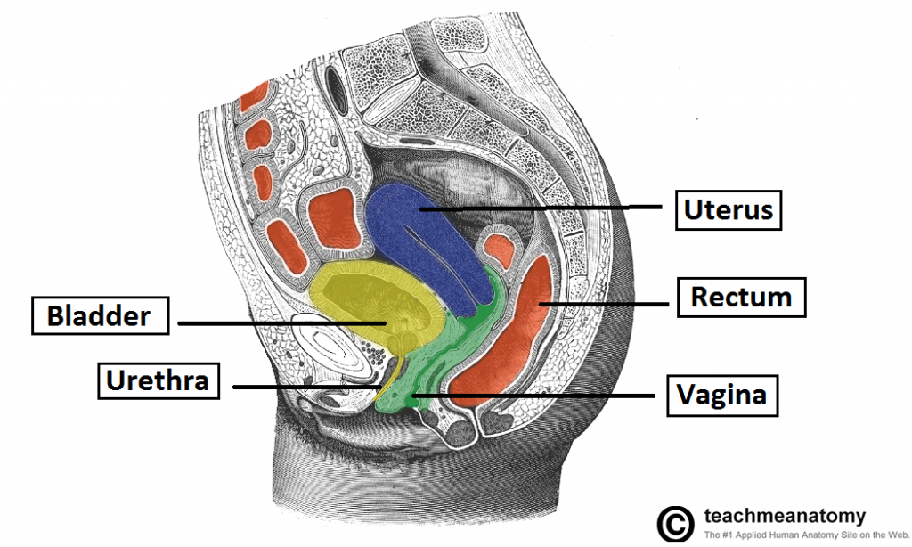 Vaginal hysterectomy anatomy