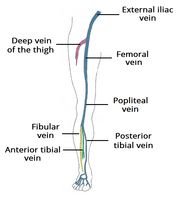 Fig 1- The deep venous system of the lower limb. In pregnant women, the majority of DVTs form in the proximal veins, and the left leg is most commonly affected.