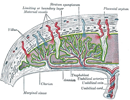 Fig 1 - The vasculature of the placenta. Uteroplacental thrombosis is a consequence of antiphospholipid syndrome.