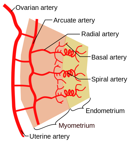 Fig 1 - Vasculature of the endometrium. The spiral arteries undergo vasospasm in response to prostaglandins.