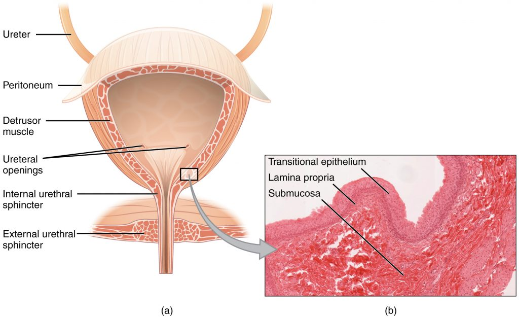 Urinary Incontinence - Stress - Urge - Management